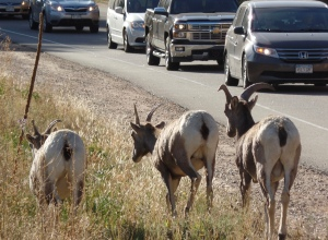 Mountain goats at campground entrance