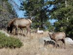 Elk siting in Rocky Mountain National Park
